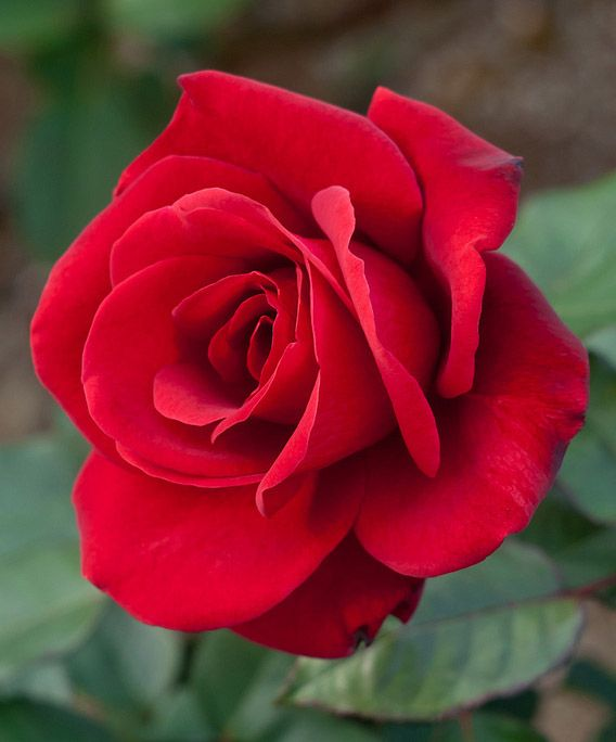 rose-03